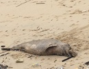 Cá heo 70kg chết dạt vào bờ biển Quảng Bình