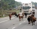 Hai người chết oan vì bò, ai chịu trách nhiệm?