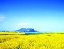 Sắc xuân trên hòn đảo lãng mạn mang tên Jeju