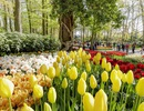 Ngợp mắt trước 7 triệu bông tulip đồng loạt bung nở