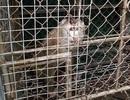 Giải cứu 3 khỉ rừng quý hiếm bị bẫy, nuôi nhốt hơn 10 năm
