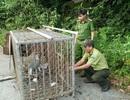 Thả cá thể khỉ đuôi lợn về môi trường tự nhiên