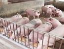 Nghịch lý: Giá lợn hơi giảm 50%, chợ và siêu thị chỉ giảm 10%