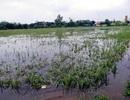 Gần 40.000ha lúa mùa bị ngập sâu, có nguy cơ mất trắng