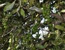 Tạm dừng quy hoạch cây mắc ca để tránh lãng phí