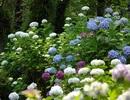 Lên đỉnh Mẫu Sơn ngắm hoa cẩm tú cầu đã nở rực