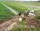 Mưa trái mùa ảnh hưởng lớn đến ngành nông nghiệp