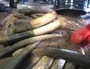 Khởi tố vụ buôn lậu hơn 1,3 tấn ngà voi trong thùng phuy nhựa đường