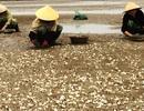 Vụ đổ chất thải xuống biển: Ngao nuôi chết không phải do độc tố