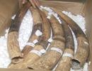 Hơn 1 tấn hàng được xác định là ngà voi thật