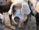 Nghiên cứu mới mở ra triển vọng cấy ghép nội tạng lợn cho người
