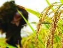 """VCCI đề nghị loại bỏ nhiều """"chốt chặn"""" cuối cùng về xuất khẩu gạo"""
