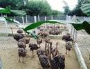 Nông dân ém đà điểu, gà ri... đến sát Tết Nguyên đán
