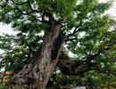 Chiêm ngưỡng cây me trăm tuổi, trả giá 3,5 tỷ đồng vẫn chưa bán