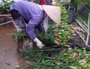 Hoa ly nở sớm, người trồng xót xa vì giá bán rẻ chỉ 8.000 đồng/cành