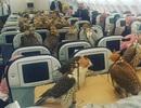 Hoàng tử Ả Rập mua vé máy bay cho 80 con chim ưng