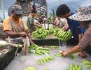 Thủ tướng Lào lo ngại về các đồn điền trồng chuối sử dụng hoá chất của Trung Quốc