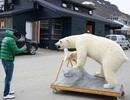 Du khách bị phạt tiền vì... làm gấu Bắc Cực sợ