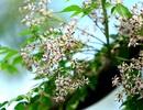 Hoa xoan dịu dàng gợi nhớ tuổi thơ