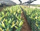 Hoa ly nở sớm, dự báo Tết sẽ khan hàng, giá cao