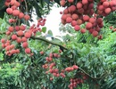 """""""Phù thủy"""" bắt vải ra quả lúc lỉu ở thân cây"""