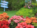 Đắm say sắc hoa Bà Nà Hills