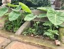 Khoét lỗ bê tông trồng rau: Hà thành sánh cùng Hà Giang