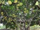 """Mắt tròn mắt dẹt với những cây """"đẻ"""" siêu trái hiếm có"""