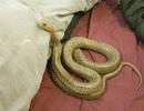 Cặp đôi kinh hãi phát hiện rắn độc nằm trên giường trước giờ đi ngủ