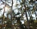 Ngắm vẻ thơ mộng của rừng thông Bản Áng