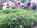 Rau đay cạnh bãi rác nhiễm vi khuẩn gây hại vượt mức