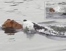 Video: Bị cá sấu dìm xuống nước, sư tử vẫn thoát chết thần kỳ