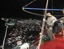 Cận cảnh mẻ cá bè trị giá hơn 5 tỷ đồng của ngư dân Quảng Trị