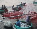 """Đàn cá bè """"khủng"""" 150 tấn: Vì sao nhiều cá chết nổi trên mặt lưới?"""