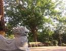 Bất thường vụ mua cây sưa 24,5 tỷ đồng ở làng Đông Cốc