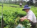 Thu lãi khoảng vài trăm triệu đồng mỗi năm từ trồng rau diếp cá