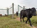 Hà Nội: Người dân phá rào đường cao tốc để trồng rau, chăn bò