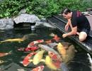 """Tận mắt đàn cá Koi bạc tỷ """"độc"""" nhất Việt Nam của đại gia Sài Gòn"""