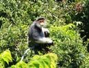"""Phát hiện đàn voọc quý hiếm, đàn khỉ """"khủng"""" trong rừng"""