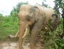 Voi rừng liên tục tấn công voi nhà