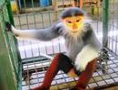 Bàn giao Voọc chà vá chân nâu quý hiếm cho Trung tâm cứu hộ thú linh trưởng
