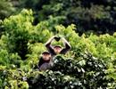 Công bố số liệu mới về Voọc chà vá chân nâu tại bán đảo Sơn Trà