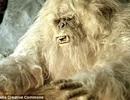 Những bí ẩn về người tuyết Yeti đang dần được hé lộ