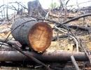 """Vụ phá rừng Tiên Phước: Đề nghị truy tố 2 bị can tội """"hủy hoại rừng"""""""