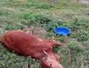 Điều tra việc 9 con bò của 2 hộ gia đình chết bất thường