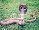 Cho rắn cắn để cai nghiện ma túy