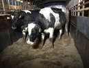 Vì sao TH nhập khẩu đàn bò Mỹ quy mô lớn?