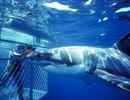 Những nơi cho phép bạn thi gan bơi cùng cá mập