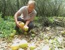 Người trồng bưởi khóc ròng vì giá xuống còn... 1.000 đồng/kg