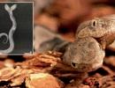 Phát hiện rắn độc hai đầu cực hiếm tại Mỹ